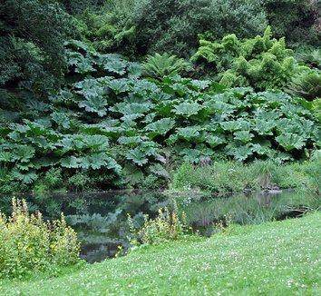 Gunnera manicata 9 landscape