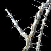 Fouquieria campanulata