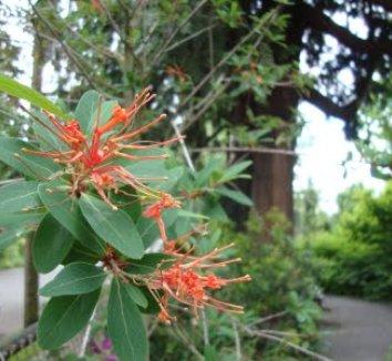 Embothrium coccineum 8 flower