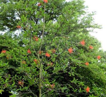 Embothrium coccineum 13 flower