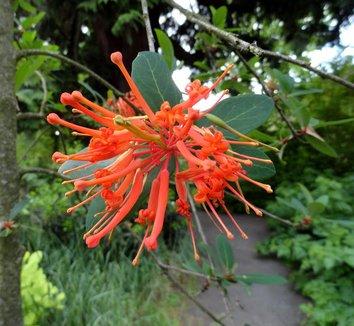 Embothrium coccineum 10 flower