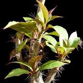Pereskia lychnidiflora