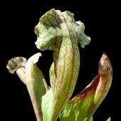 Sarracenia 'Cobra Nest'