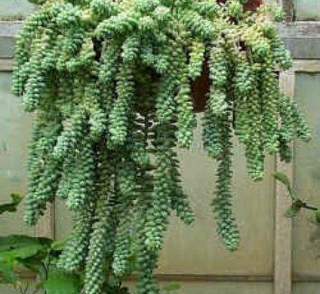 Sedum morganianum 1 form