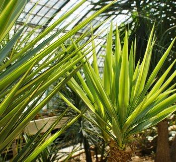 Yucca elephantipes variegata variegated giant yucca plant lust - Yucca pied d elephant ...