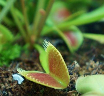 Dionaea muscipula 8
