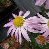 Chrysanthemum 'Dixter Pink'
