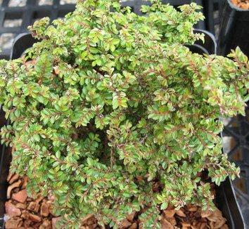 Ulmus parvifolia 'Hokkaido' 1 form