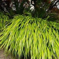 foto de hakonechloa: 11 plants plantseriously simple
