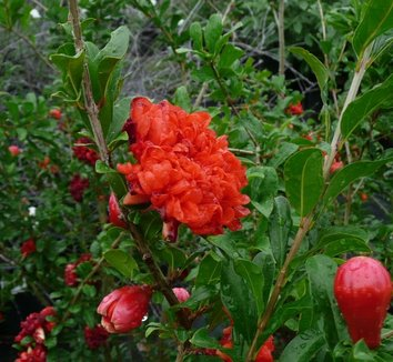 Punica Granatum Wonderful Wonderful Pomegranate Plant