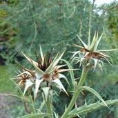 Cynara baetica ssp. maroccana