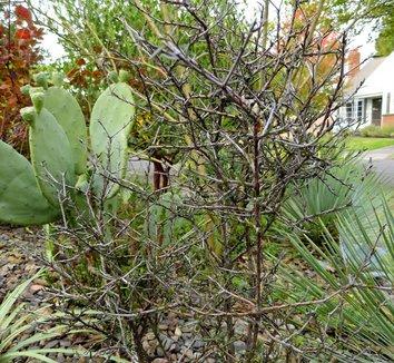 Pittosporum divaricatum 5 form