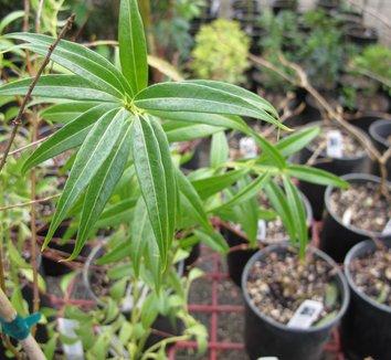 Sarcococca salicifolia 1