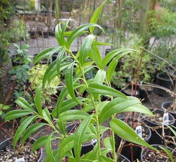 Sarcococca salicifolia 3