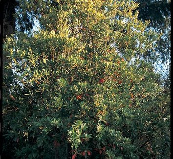 Elaeocarpus decipiens 1 form