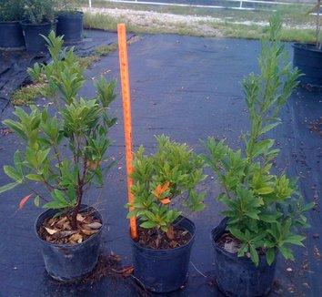 Elaeocarpus decipiens 3