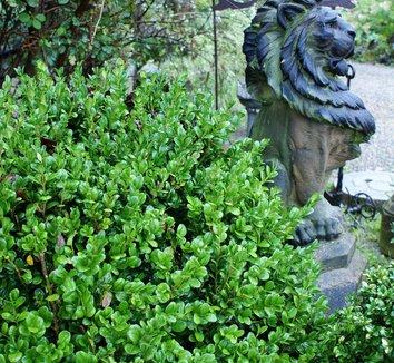 buxus sempervirens 39 rotundifolia 39 german boxwood plant lust. Black Bedroom Furniture Sets. Home Design Ideas