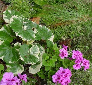 Farfugium japonicum 'Argenteum' 6 form