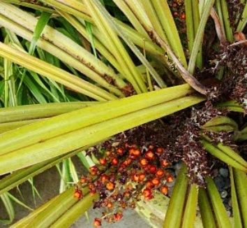 Astelia nervosa 'Westland' 2 fruit