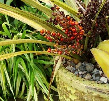 Astelia nervosa 'Westland' 1 fruit