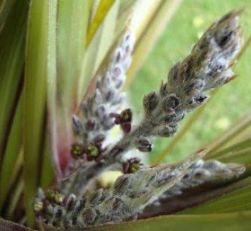 Astelia nervosa 'Westland' 6 flower