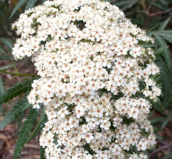 Lyonothamnus floribundus var. asplenifolius 5 flower