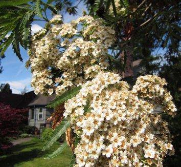 Lyonothamnus floribundus var. asplenifolius 6 flower