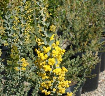 Acacia cultriformis 1 flower