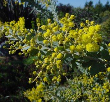 Acacia cultriformis 2 flower