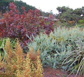 Acacia cultriformis 4 landscape