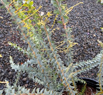 Acacia cultriformis 8