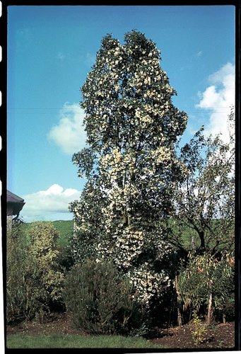 Eucryphia X Intermedia Rostrevor Plant Lust