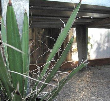 Yucca faxoniana 2