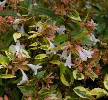 Abelia x grandiflora 'Frances Mason' 1 flower