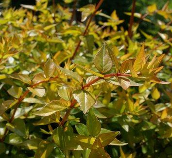 Abelia x grandiflora 'Frances Mason' 5