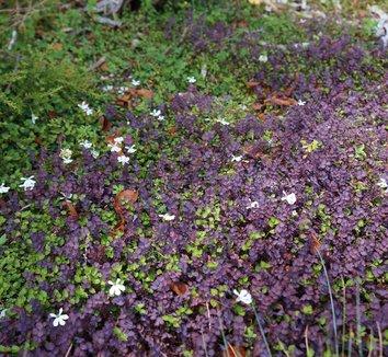 Acaena inermis 'Purpurea' 8