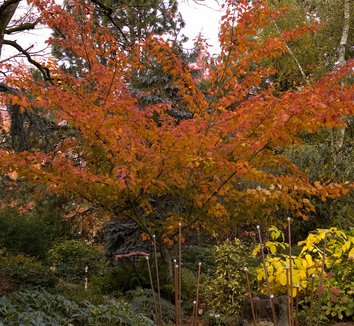 Acer capillipes 1 form
