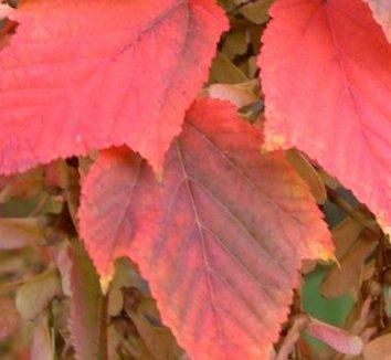Acer capillipes 2