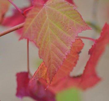 Acer capillipes 8