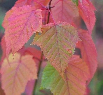 Acer capillipes 10