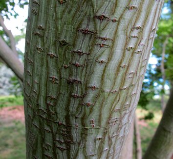 Acer capillipes 12 bark