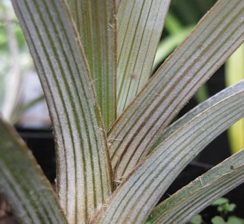 Astelia nivicola 'Red Gem' 4