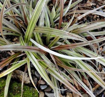Astelia nivicola 'Red Gem' 8