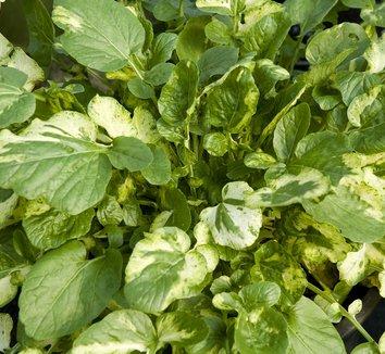 Barbarea vulgaris 'Winter Cream' 1