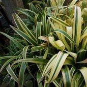 Billbergia nutans 'Variegata'