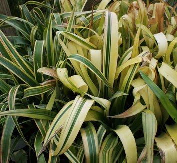 Billbergia nutans 'Variegata' 1