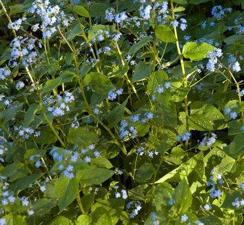 Brunnera macrophylla 'Langtrees' 1 flower