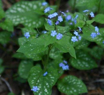 Brunnera macrophylla 'Langtrees' 7 flower