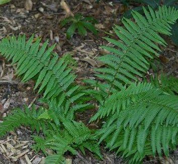 Dryopteris pseudo filix-mas 7