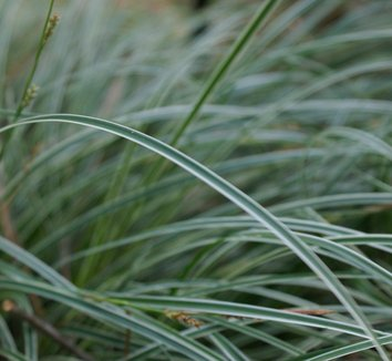 Carex conica 'Hime Kan-Suge' 1